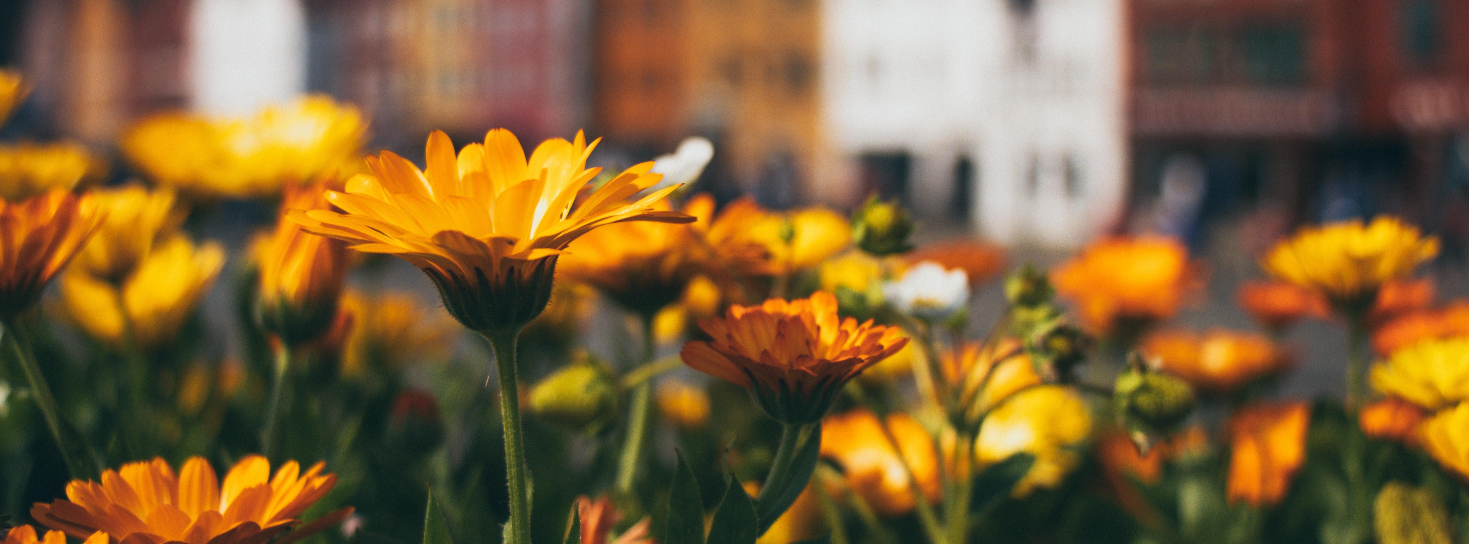 Żółte jesienne kwiaty.